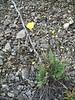Icelandic poppy - Papaver nudicaule ssp. americanum (PANUA)