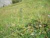 Narcissus anemone - Anemone narcissiflora var. monantha (ANNAM2)