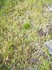 Autumn dwarf gentian - Gentianella amarella ssp. acuta (GEAMA)