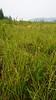 largeleaf avens - Geum macrophyllum var. perincisum (GEMAP)