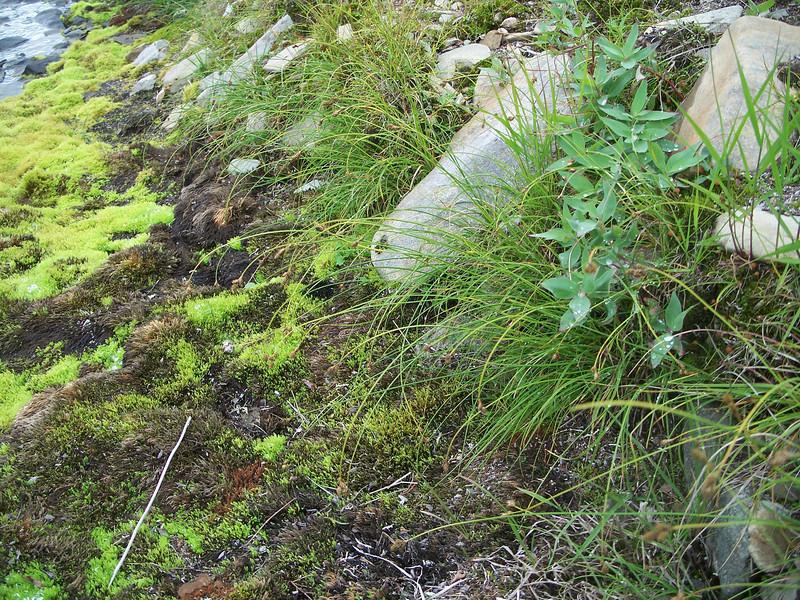 Twotipped sedge - Carex lachenalii (CALA10)