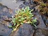 Aleutian cress - Aphragmus eschscholtzianus (APES)