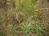 Rough bentgrass - Agrostis scabra (AGSC5)