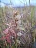 Little yellow rattle - Rhinanthus minor (RHMI13)