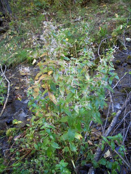Fringed willowherb - Epilobium ciliatum ssp. glandulosum (EPCIG)