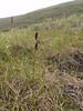 Fragile sedge - Carex membranacea (CAME4)