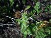 American dragonhead - Dracocephalum parviflorum (DRPA2)
