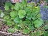 Largeleaf avens - Geum macrophyllum var. macrophyllum (GEMAM)
