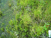 Chamisso sedge - Carex pachystachya (CAPA14)