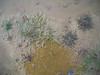 Water mudwort - Limosella, aquatica (LIAQ)