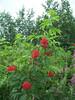 Red elderberry - Sambucus racemosa (SARA2)