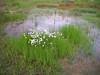 White cottongrass - Eriophorum scheuchzeri (ERSC2)