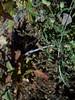Menzies' campion - Silene menziesii ssp. williamsii (SIMEW)