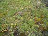 Entireleaf mountain-avens - Dryas integrifolia ssp. integrifolia (DRINI2)