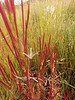 Fireweed - Chamerion angustifolium ssp. circumvagum (CHANC)