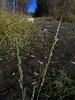 American sloughgrass - Beckmannia syzigachne (BESY)
