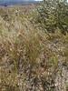Glaucous bluegrass - Poa glauca (POGL)