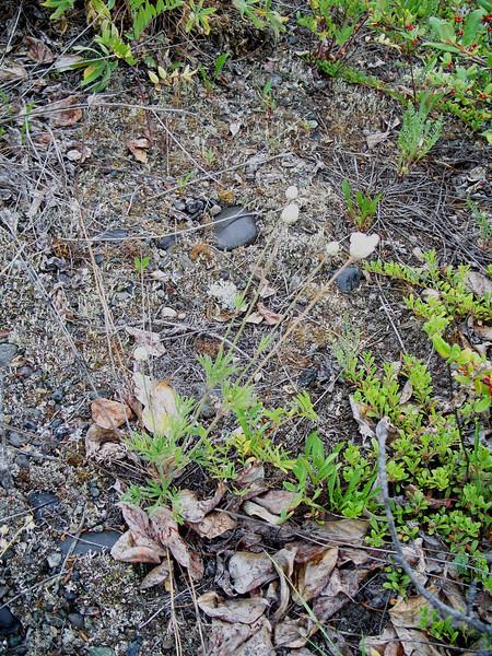 Pacific anemone - Anemone multifida var. multifida (ANMUM3)