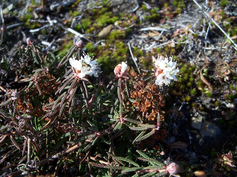Marsh Labrador tea - Ledum palustre ssp. decumbens (LEPAD)