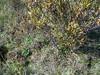 Aleutian violet - Viola langsdorffii (VILA6)
