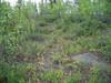 Narrowleaf arnica - Arnica angustifolia ssp. angustifolia (ARANA)