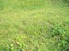 Pumpelly's brome - Bromus inermis ssp. pumpellianus (BRINP)