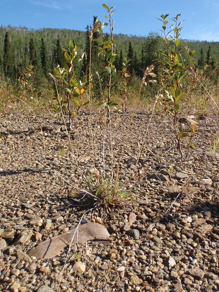 Alpine bluegrass - Poa alpina (POAL2)