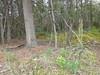 Tilesius' wormwood - Artemisia tilesii (ARTI)