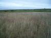 Purple marshlocks - Comarum palustre (COPA28)