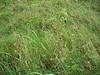 Meadow barley - Hordeum brachyantherum (HOBR2)