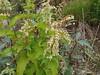 Alaska wild rhubarb - Polygonum alpinum (POAL11)