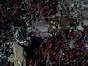 Eightpetal mountain-avens - Dryas octopetala ssp.  octopetala (DROCO)