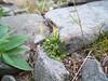 Alpine bittercress - Cardamine bellidifolia (CABE)