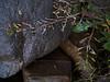 Bog yellowcress - Rorippa palustris ssp. palustris (ROPAP)