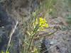 Shy wallflower - Erysimum inconspicuum (ERIN7)