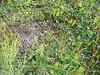 Common woodrush - Luzula multiflora ssp. frigida (LUMUF)
