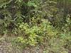 alpine sweetvetch - Hedysarum alpinum (HEAL)