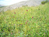 Official burnet - Sanguisorba officinalis (SAOF3)