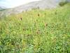Official burnet - Sanguisorba officinalis (SAOF3)