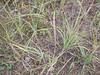 American dunegrass - Leymus mollis ssp. mollis (LEMOM2)