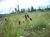 Scrabrous black sedge - Carex atratiformis (CAAT6)