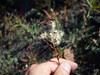 Bitter fleabane - Erigeron acris ssp. kamtschaticus (ERACK3)