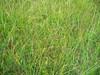 Richardson's fescue - Festuca rubra ssp. arctica (FERUA6)