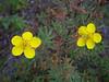 Shrubby cinquefoil - Dasiphora fruticosa ssp. floribunda (DAFRF)