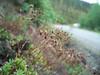 Three toothed saxifrage - Saxifraga tricuspidata (SATR5)