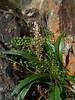 Gray pubescent plantain - Plantago canescens (PLCA3)