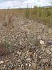 Elegant milkvetch - Astragalus eucosmus (ASEU2)