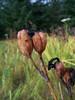 Beachhead iris - Iris setosa (IRSE)