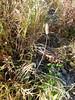 Alpine timothy - Phleum alpinum (PHAL2)