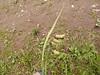 Mertens' sedge - Carex mertensii (CAME6)